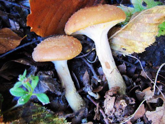 Armillaria mellea, adică ghebele sau opinticile fac deliciul toamnelor, în tocană sau zacuscă.