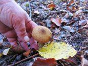 Ciupercile pot crește nu doar în tufe, ci și singuratice, risipite la marginile pădurilor.