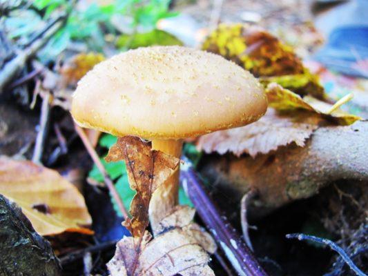 În unele zone ghebele se numesc halimaș, ghebe de toamnă sau ghebe de miere.