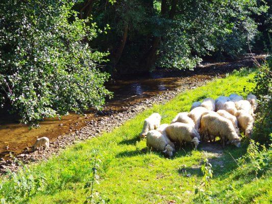 Cerișorenii, care stau, la propriu, pe dolomită, se laudă cu cele mai frumoase oi.