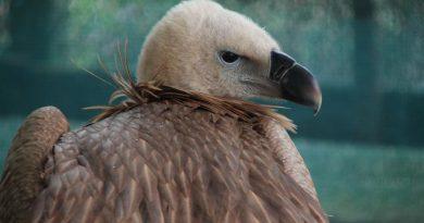La Deva trăieşte singurul vultur pleșuv din România