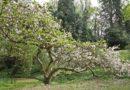 Simfonia magnoliilor