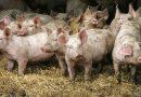 În atenția crescătorilor de porcine din Deva!