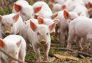 Nou focar de pestă porcină africană în vestul țării