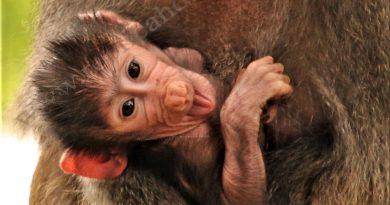 Micul miracol de la Zoo Hunedoara: o poveste frumoasă cu babuini