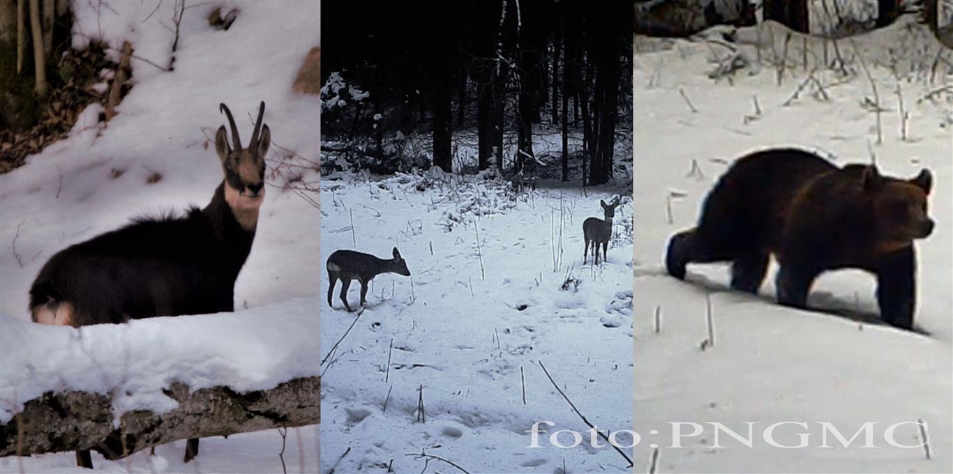 Bucuria zăpezii în Şureanu. Joaca unui pui de căprioară