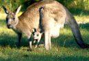 Șase canguri de la o grădină Zoo din vestul țării, omorâţi de câini