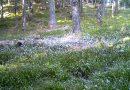 Lupii mențin stabilitatea ecosistemului din Parcul Național Retezat