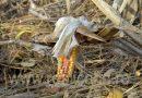 Producătorii agricoli afectați de secetă vor fi despăgubiți