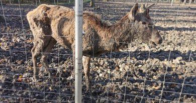 Grădina Zoologică din Timişoara se închide, după ce pe internet au apărut imagini cu un pui de cerb bolnav